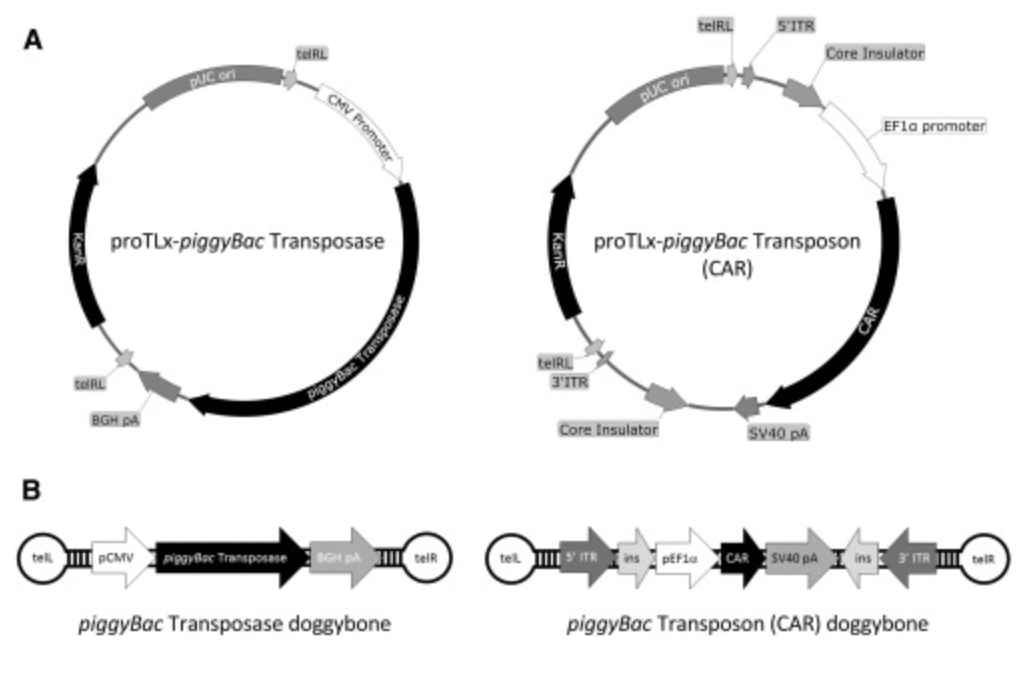 """U Sydney collaboration: """"CAR T Cell Generation by piggyBac Transposition from Linear Doggybone DNA Vectors Requires Transposon DNA-Flanking Regions"""""""